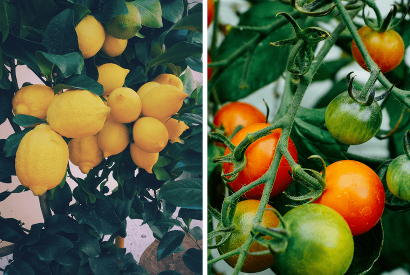 lemon tree and tomato plant