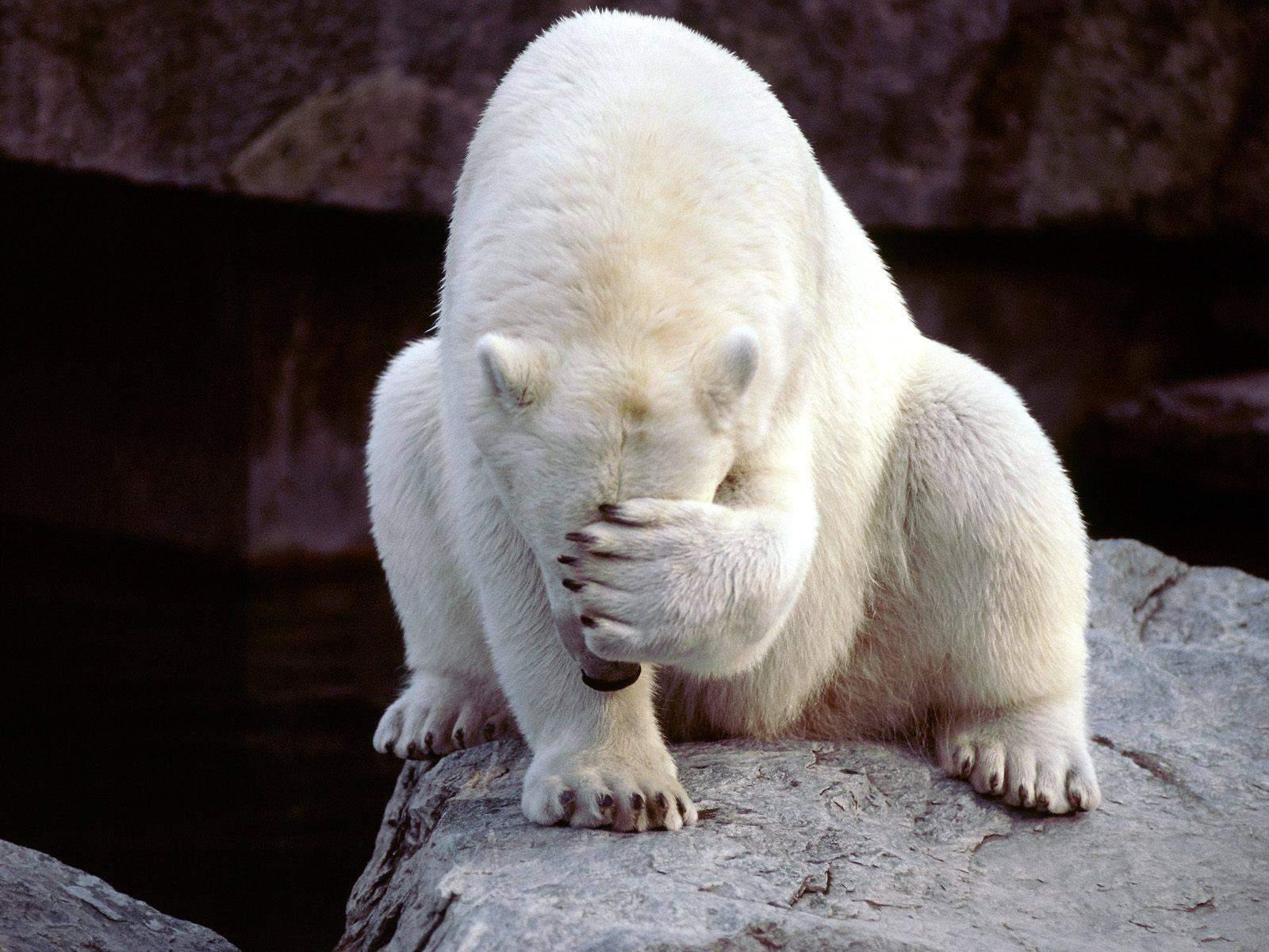 polar bear doing a facepalm
